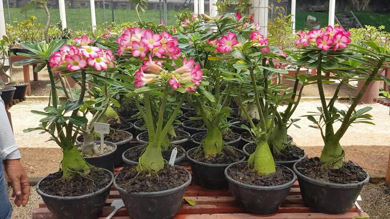 Rosa Do Deserto Cultivar Bouquet Youtube