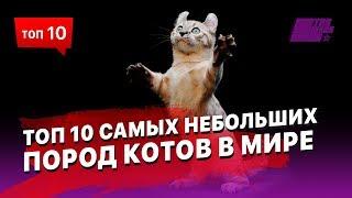 10 самых небольших пород котов в Мире - для тех у кого аллергия на больших и пушистых