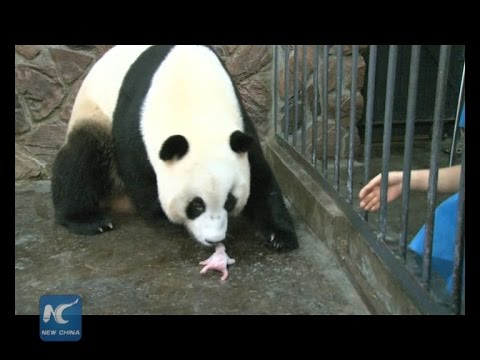 Giant panda cub dies 5 days after birth
