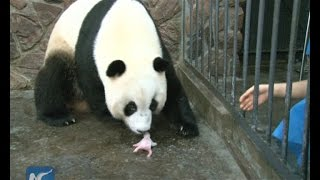 Giant panda cub dies 5 days after birth