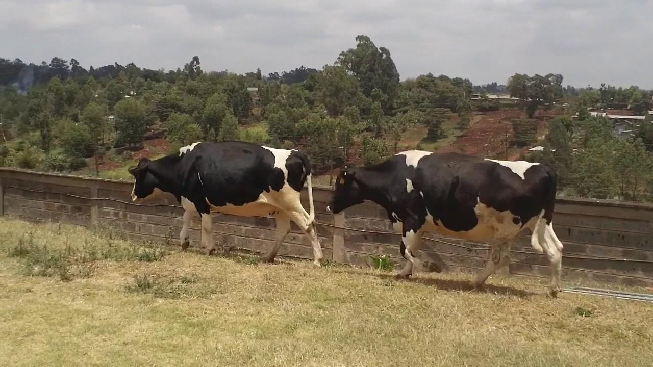 Zero grazing nairobi kenya