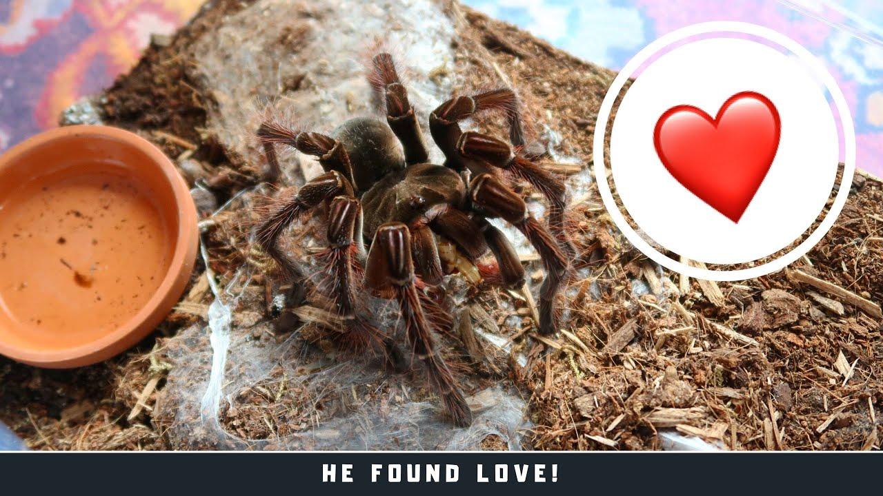 Goliath Bird Eating Tarantula My Spider Found Himself A Wife