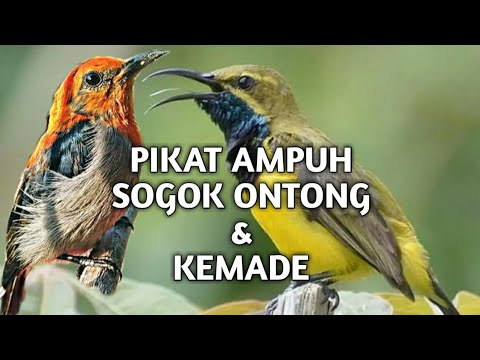 Download Mp3 pikat Ribut Sogok Ontong / Pikat Kemade (cabean jawa) Terbukti Ampuh!!