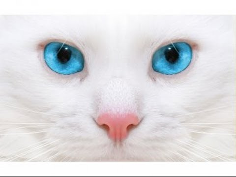 Blue Eyed Cats Pics Part 1
