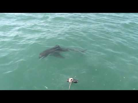 Great White Shark in Gansbaai1