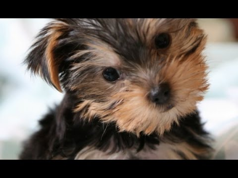 Star Wars Ewok Adorable Yorkie Terrier Puppy Playing W Miniature