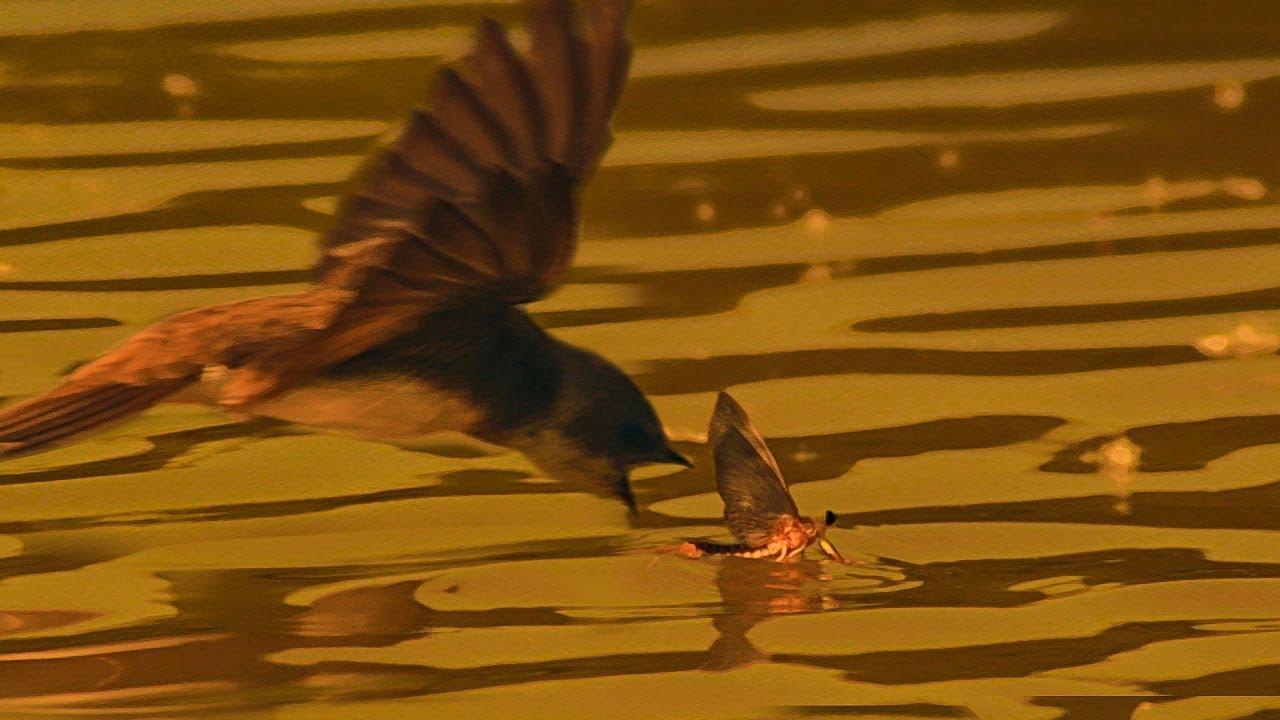 Birds Hunt Mayflies for their Chicks | BBC Earth
