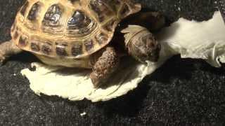 Черепаха ест. Скорость 700% | Turtle eats. Speed 700%