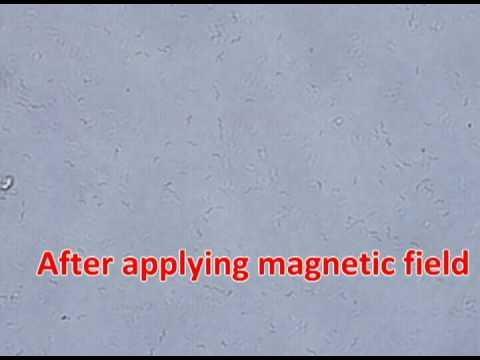 Magnetic bacteria under magnetic filed.avi