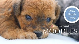 Toy Moodle Puppies Chevromist Kennels