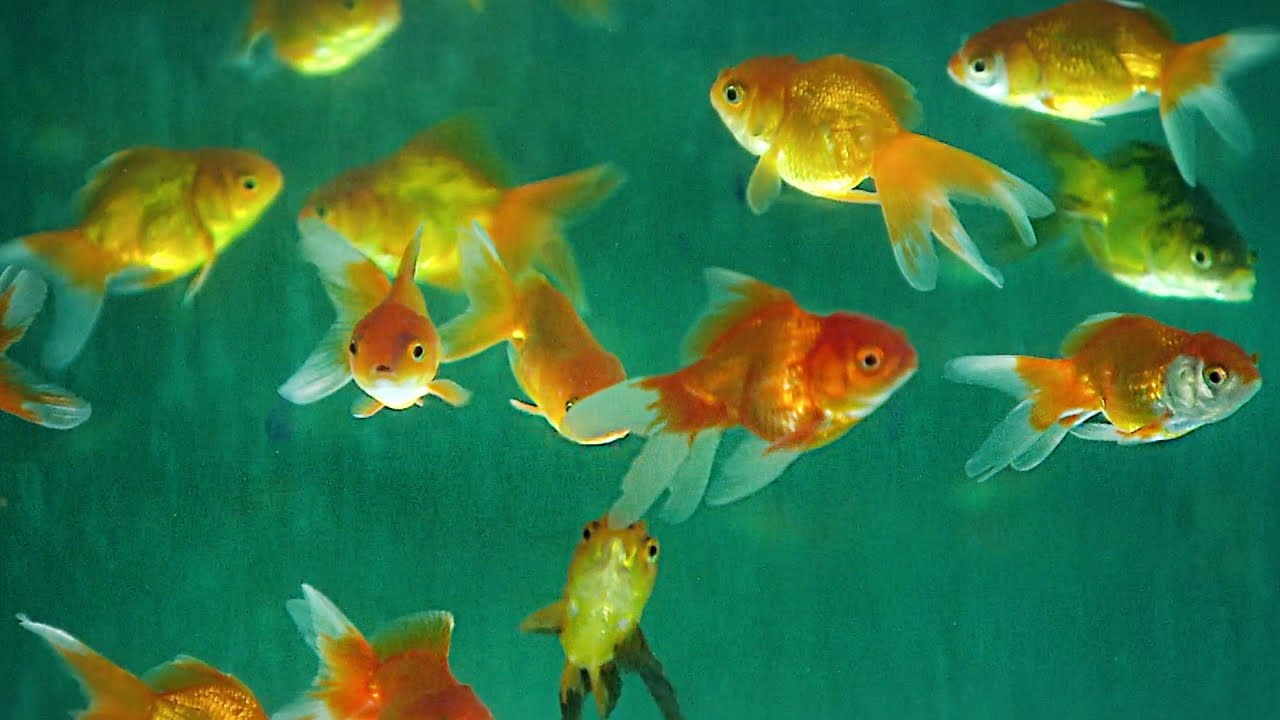 Aquarium fish how it 39 s made youtube for Where to buy pet fish