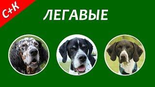 Легавые собаки.