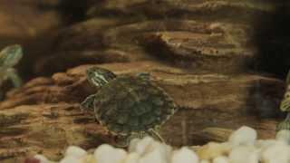 Все О Домашних Животных: Желтоухая Черепаха