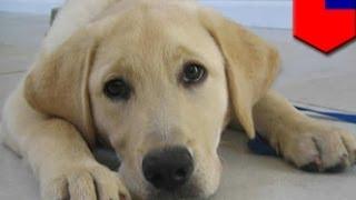 Собака-поводырь лишилась глаза из-за удара тапком(9-месячный лабрадор-поводырь потерял левый глаз в результате нападения на него психа. Инцидент произошел..., 2014-04-17T07:07:52.000Z)