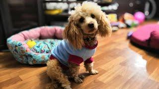 Зачем маленьким собакам одежда. ОТВЕТ.