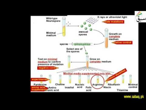 Experiment of Beadle and Tatum on Neurospora