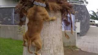 Staffordshire Bull Terrier  (kenya)
