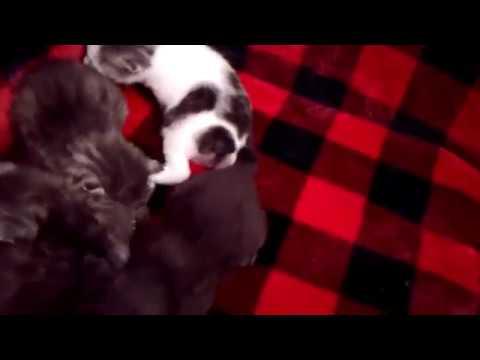 Akari Christmas Babies - Solid Japanese Bobtail Kittens - 01/13/19