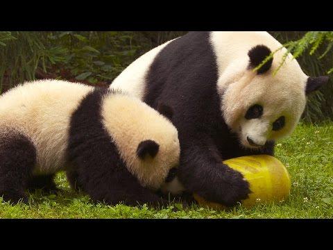 Wild Inside the National Zoo: Pandamonium