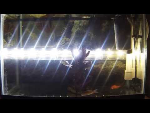 Jewel Cichlid Eats Feeder Goldfish