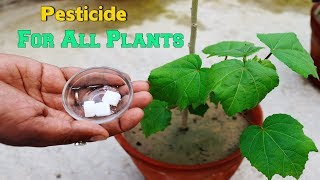 How to Make Organic Pesticide In Your Plants || Camphor
