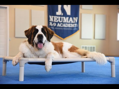 Rosie (Saint Bernard) Boot Camp Dog Training Video Demonstration
