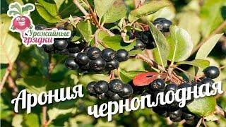 видео Выращивание черноплодной рябины