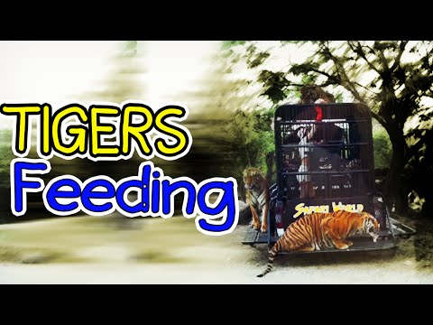 Tigers Feeding Exciting Experience in Thailand