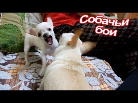 Как одеть чихуахуа. Собака не хочет одеваться ❤ The dog does not want to dress.из YouTube · С высокой четкостью · Длительность: 1 мин51 с  · Просмотров: 492 · отправлено: 07.06.2016 · кем отправлено: СУНДУЧОК
