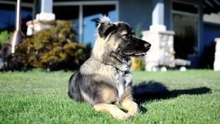 Beautiful Dog - Shetland Sheepdog, Siberian Husky Cross