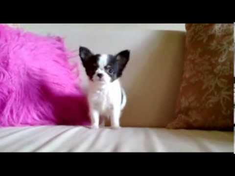 """""""lucas""""-black-white-long-coat-chihuahua-puppy-for-sale"""