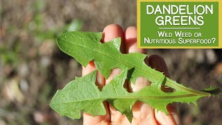 Dandelion Greens, Wild Weed or Nutritious Superfood?