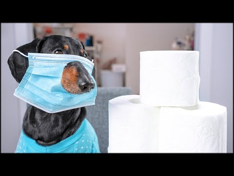 Covidiots are everywhere! Cute & funny dachshund dog video!