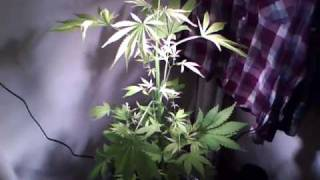 Closet Cannabis Cousin Weed Plant