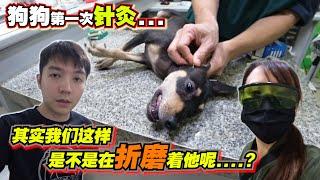 瘫痪狗瘟 第一次针灸,其实我们这样是不是在折磨着他呢….?