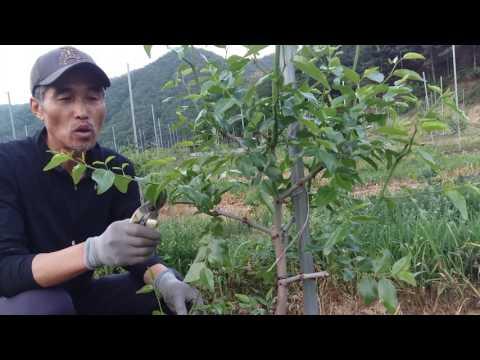 2년생 대추나무 가지유인작업