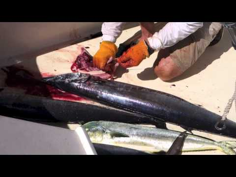 Parasites Found Inside of a Wahoo Fish