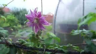 Клематис -самая красивая лиана в саду.Размножение делением куста.Результаты деления.