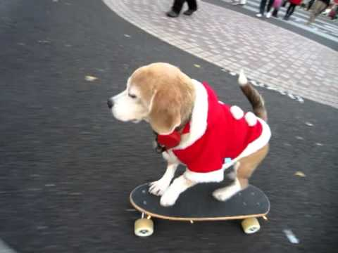 Amazing Skate Boarding Dog Dressed In Santa Outfit In Tokyo