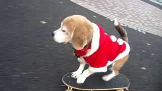 FABULOUS SKATE BOARDING DOG!! dressed in Santa outfit in Tokyo Japa...