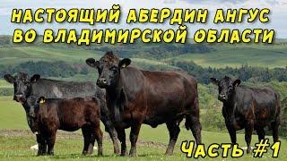 Абердин Ангус во Владимирской области