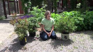How to Prune Lilacs - Mickman Brothers Landscape Maintenance