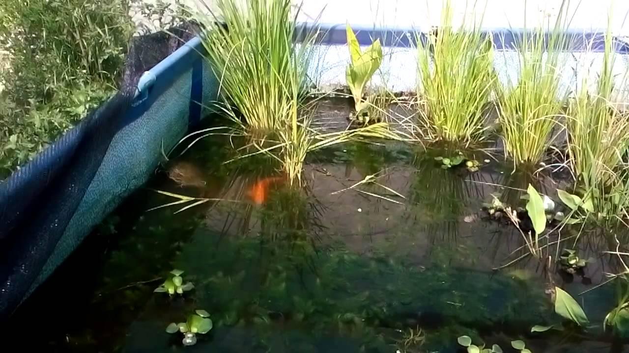 Reproducci n de koi youtube for Como hacer un estanque para peces koi