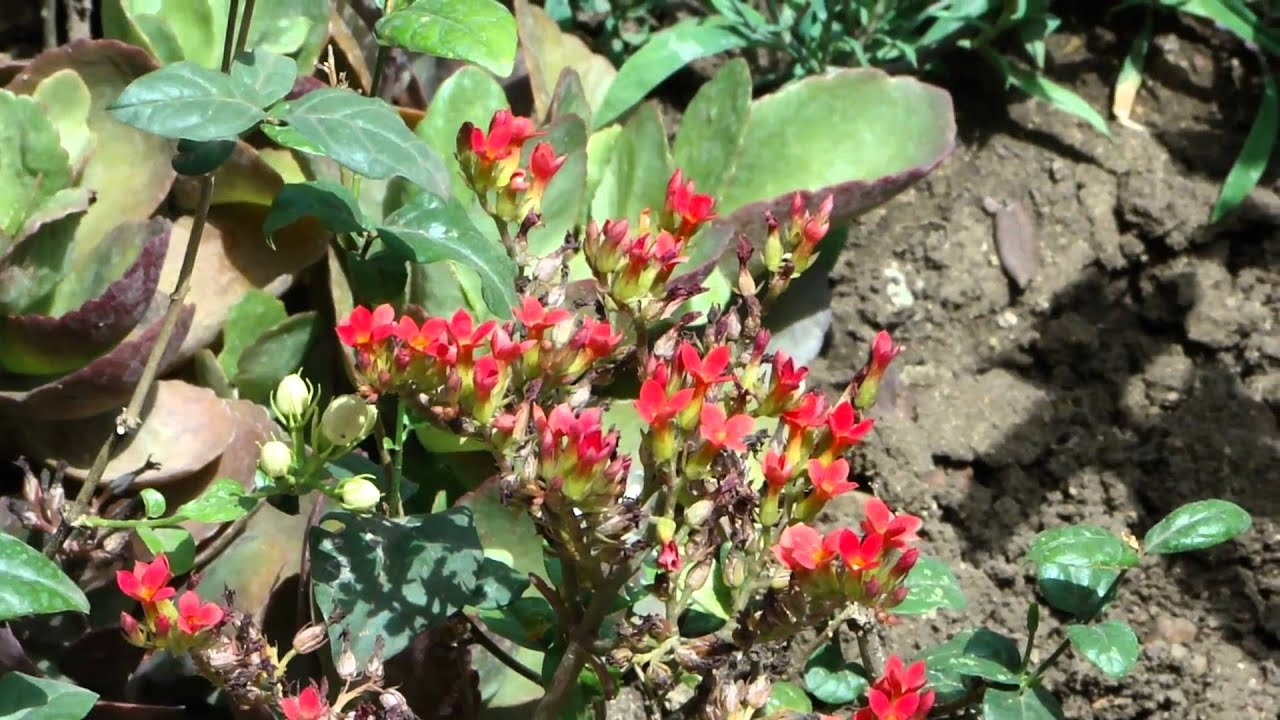 Diabetes Herbs. 317E. Kalanchoe pinnata. © Pankaj Oudhia - YouTube Kalanchoe Pinnata