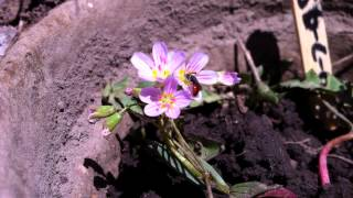 Lasioglossum and Sphecodes visiting Claytonia lanceolata
