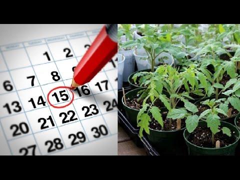 Когда сажать помидоры на рассаду в 2019 году по лунному календарю и регионам