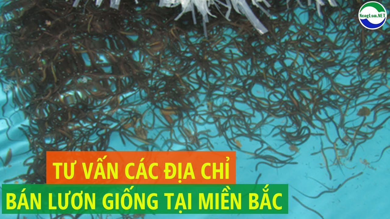 Các địa chỉ bán lươn giống tại miền Bắc