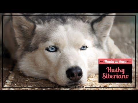 mania-de-raÇa:-husky-siberiano- -divã-veterinário