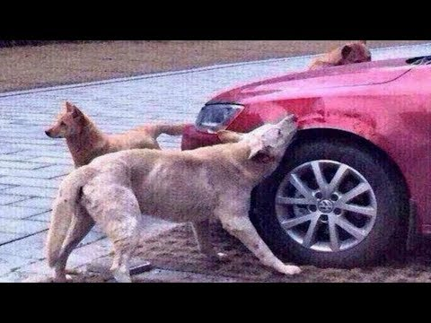 DOG's Revenge: Kicked by driver for being in his parking bay returns with Friends & Trashes his car