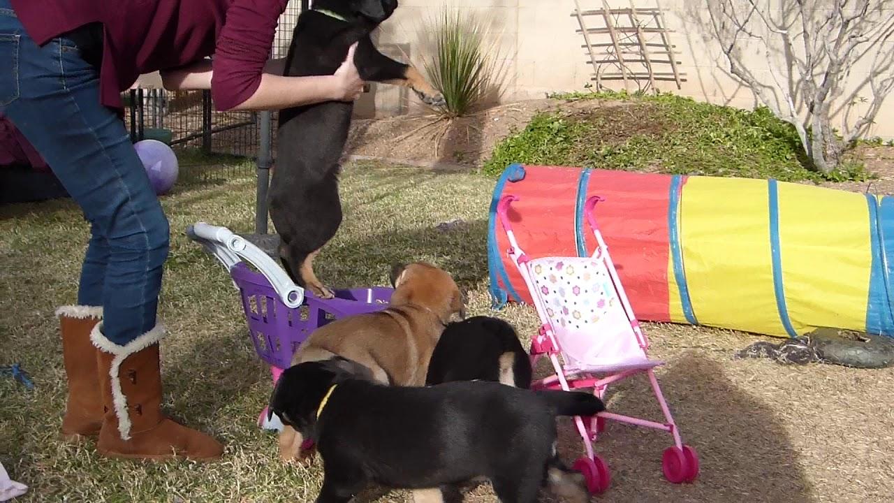Desert Sol Chinooks Holly Jolly Litter Week 7 Teaching Puppies To